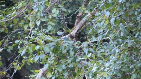 Belted Kingfisher in tree