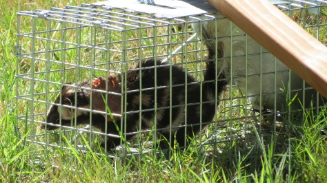 "skunk in 7"" x 7"" x 20"" trap"