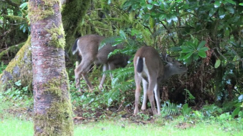 twin black-tailed fawns