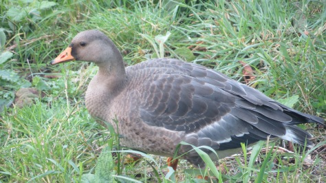 Juvenile Greater White-fronted Goose