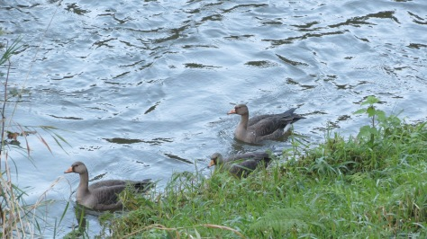 Greater White-fronted Goose - Juvenile