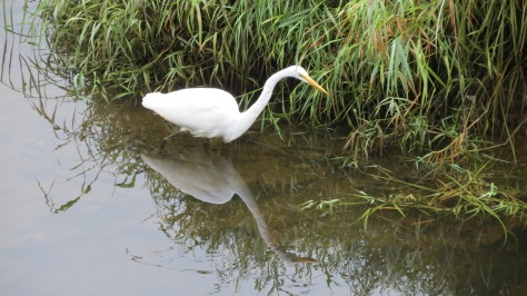 great egret on alsea river