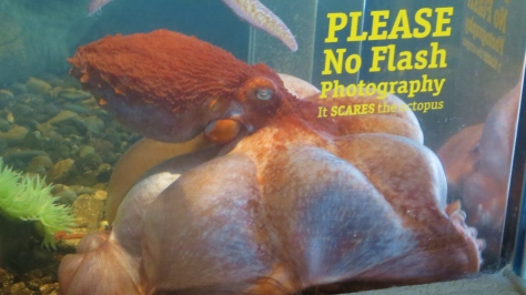 Octopus - Sasha - Hatfield Marine Science Center