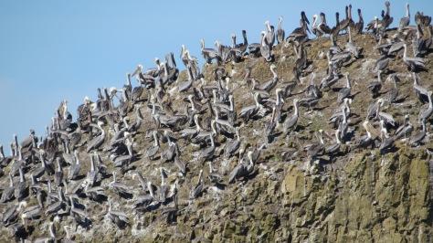 100's of Brown Pelicans at Seal Rock, Oregon Coast