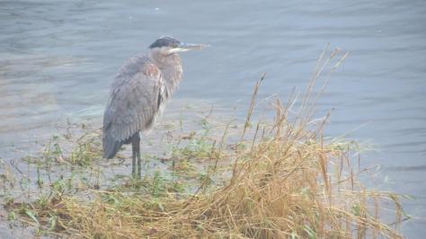 great blue heron on alsea river