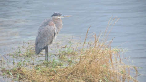 great blue heron on alsea river