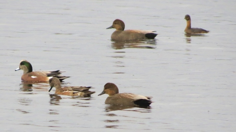 american wigeon, gadwall, pied-billed grebe