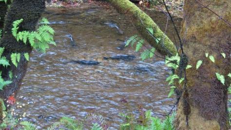 Fall Creek Chinook Run - 2013