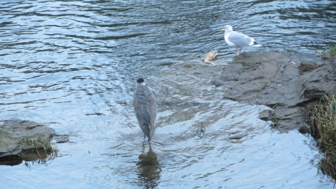 heron and gull