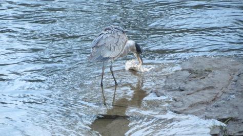 heron eating carcass