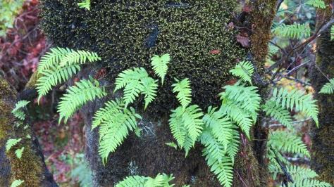 Tree Moss Fern