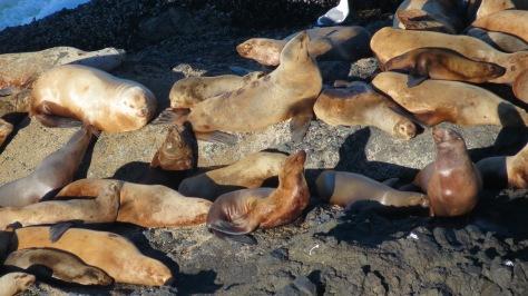 branded stellar sea lion