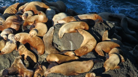 branded stellar sea lions