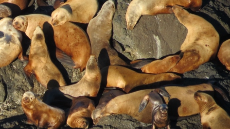 sea lions oregon coast