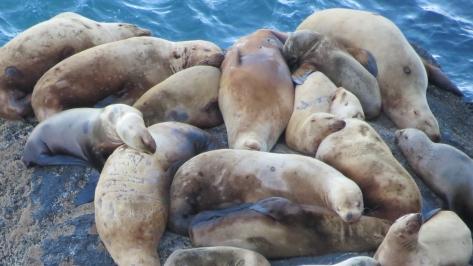 sea lion mammary glands