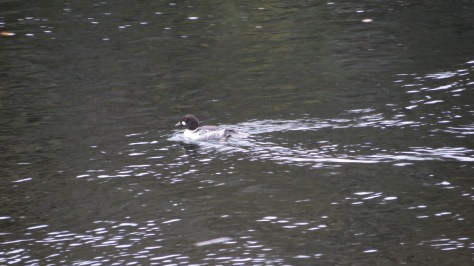 Adult Goldeneye
