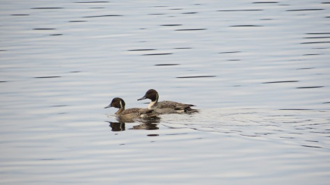 Northern Pintail - youth and adult