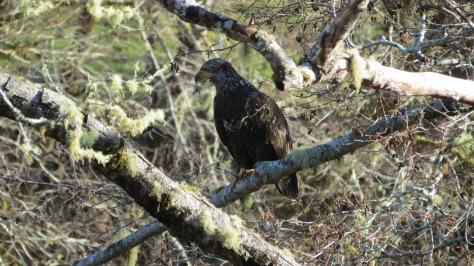 Bald Eagle - 1st year