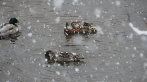 Northern Pintail with Mallards