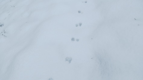 raccoon tracks in snow