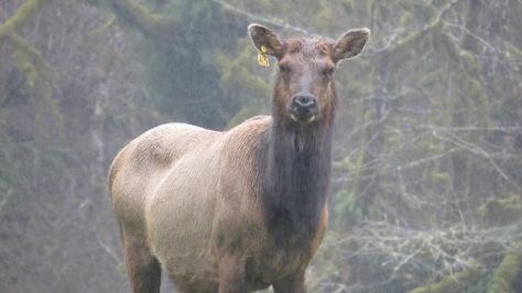 Alllie the tagged Roosevelt Elk