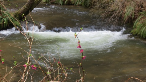 Salmonberry Blossoms in Canal Creek Campground