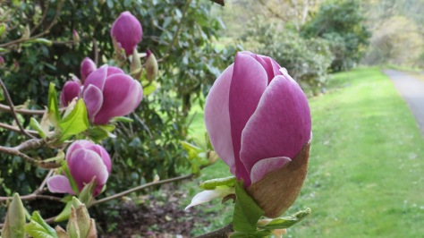 Ann Japanese Magnolia Tree