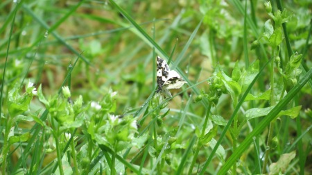 White moth with black markings