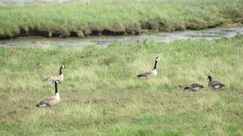 Canada Geese on Alsea River at Eckman Lake