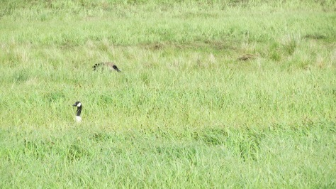 Canada Geese in tall grass