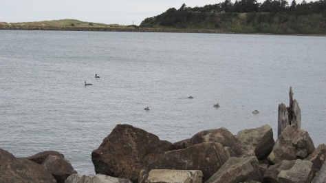 Sea birds off the South Jetty