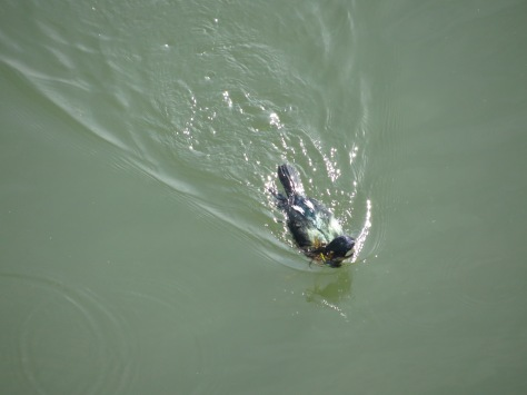 Cormorant gathers seaweed from bottom of the Alsea Bay