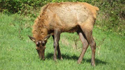 bull roosevelt elk