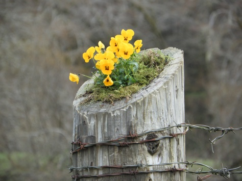 Pansies on Post