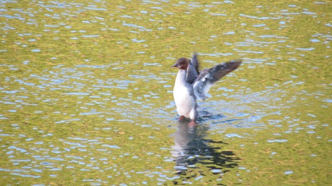 common merganser flapping