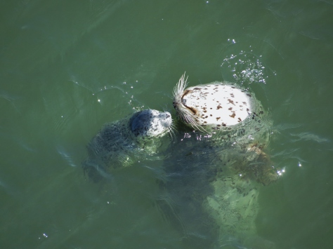harbor seal mom and pup