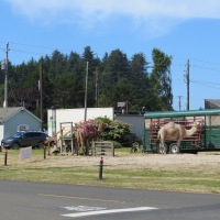 Camels are something you don't see everyday on the Oregon Coast