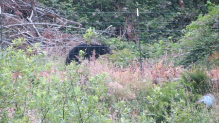 black bear on alsea river