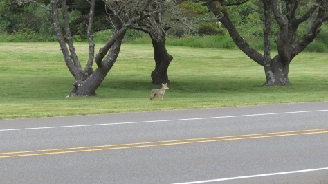 coyote in yachats oregon