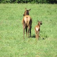 Roosevelt Elk Calves