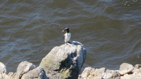 Common Murre eating fish