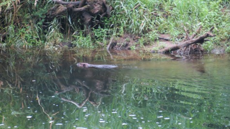 beaver in alsea river