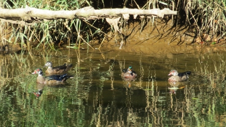drakes and hen wood ducks