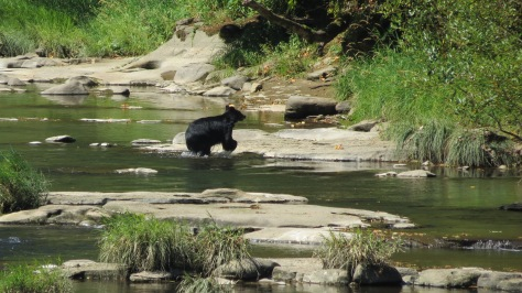 bear crossing alsea river