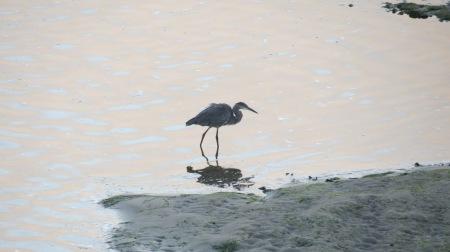 great blue heron alsea bay