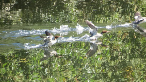 merganser takeoff