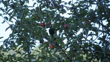 pileated woodpecker eating apple