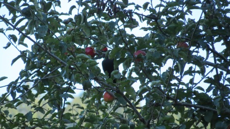 pileated woodpecker eating apple