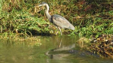 great blue heron in alsea river