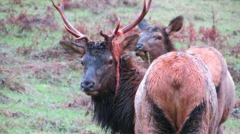 bull elk with twine hanging from antlers